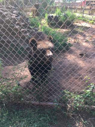 Wild Animal Safari Black Bears