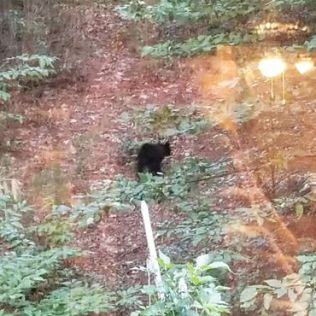 Bears in Alpine Helen, GA