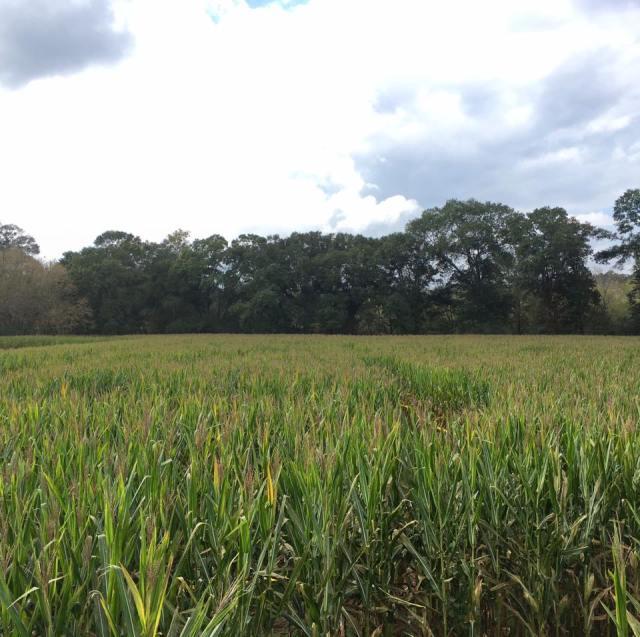 Uncle Shuck's Corn Maze