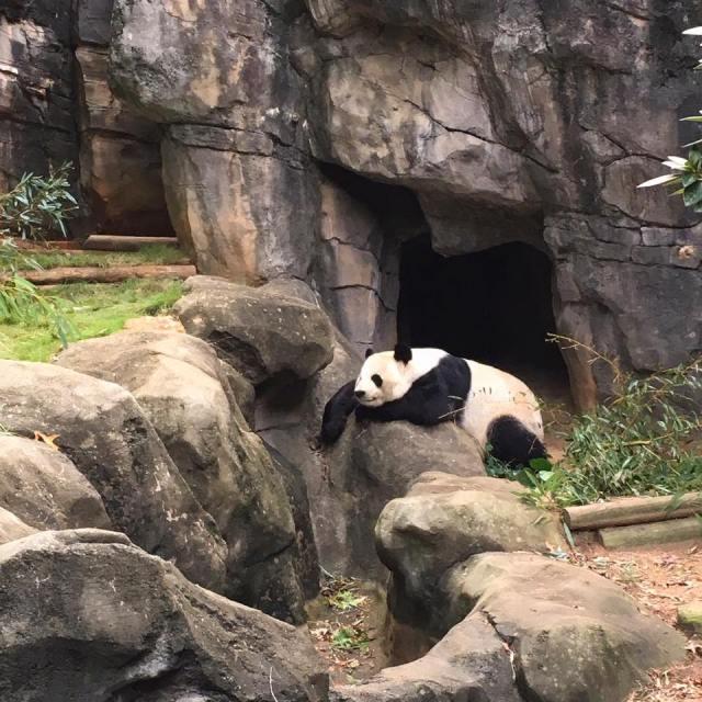 Zoo Atlanta Panda Bears