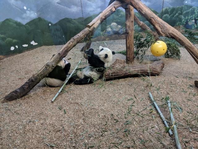 Giant Panda Wild Encounter