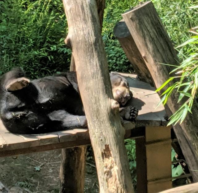 Sun Bears at Zoo Atlanta